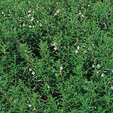 Herb - Savory Winter - 1000 Seeds