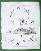 ENTOMOLOGY Insects Gadfly !! Antique Print A. REES Engraving