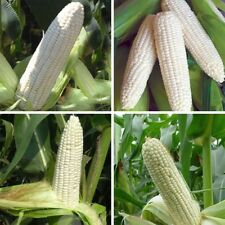 Rare White Waxy Corn Seed Heirloom Super Sweet Corn Seeds Non GMO Grain 10pcs
