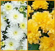 Chrysanthemum Poppins Mix White and Yellow plug plants x 8 {good cut flowers}