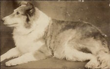 Collie Dog Close-Up c1910 Amateur Real Photo Postcard