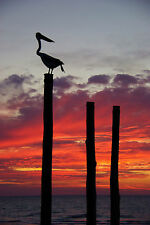 Australian pelican sunset sunrise  art landscape print modern photo poster 800mm