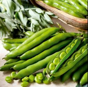 50 X BROAD BEAN Seeds  'Aquadulce Claudia' - Sow Now for an early crop this year