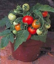 Tomato Seeds Micro Tom 50 Seeds Worlds Smallest Tomato Plant BULK SEEDS