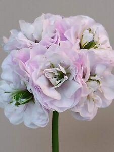 Pelargonie, Pelargonium, Geranie, Ice Rose