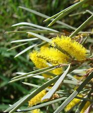 'MULGA WATTLE',EDIBLE, SEEDS,BUSH TUCKER,Acacia aneura,EDIBLE, FLOUR,FRUIT TREE