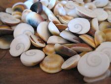 Shiva Seahells (15) - Green Cat Eye Shells - Seashell Supply - Craft Seashells