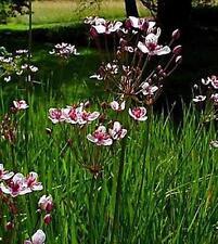 Butomus Umbellatus Perennial Seeds