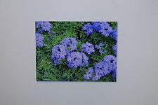 20 Semillas Verbena Azul Verbena Hastata, Arbusto, Planta Perenne, #358