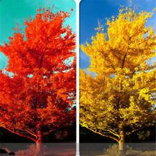 30 seeds Ginkgo Biloba / Maidenhair Tree Seeds Easy to Grow Bonsai Tall Tree