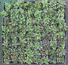 """Four 2"""" Anacampseros rufescens (succulent)   Item # 138"""