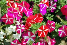 Fairy Flower Seed Petunia Compact Stars Mixed seed x 50 Bedding / Patio Plant