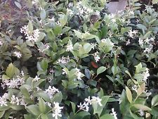 Jasmine- Confederate Very Fragrant & Easy to Grow 4 inch pot