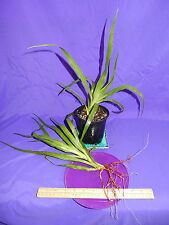 Canary Island Dragon Tree Dracaena draco 6-8 inch Plants with Roots Bleeds Red!