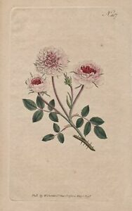 Rosa Provincialis Pompone Rose botanical flower print Curtis 407