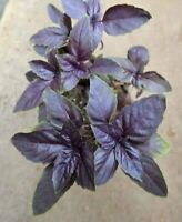 Holy Red Thai Basil Seed, @ 650 seeds OCIMUM BASILICUM Fragrant Colourful Herb,