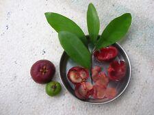 Garcinia Indica - Kokum - Rare Tropical Plant Tree Seeds (5)