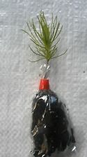 Lodgepole Pine, Pinus Contorta  Conifer Christmas Tree Seedling Plug Plants