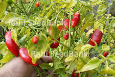 Aji Benito Chilli Pepper - A Prolific Medium Hot Chilli from Bolivia - 10 Seeds!