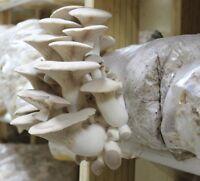 100 g+/4 oz Organic King Oyster Gourmet mushroom Grain Spawn US Seller!!!