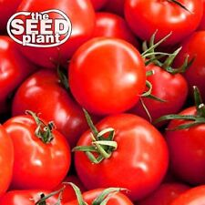 Early Girl Tomato Seeds - 25 SEEDS-SAME DAY SHIPPING