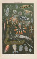 1894 Sea Life,Sea Fauna,Ocean Scene Antique Chromolithograph Print