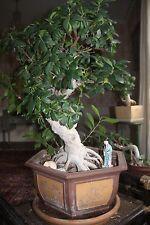 """Beautiful Bonzai Tree 100 years old 45"""" x 25"""" pot includeed"""