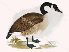 Canada Goose - Game Bird ART PRINT - FREE UK P&P