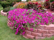 Semi-Trailing Petunia Flower seed 50 seeds garden yard patio plants
