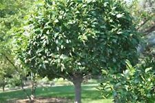 2 Bay Tree Laurus Noblis Edible Herb Plant Garden Hedge Evergreen Drought Hardy