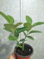 Dwarf Mayer Lemon Tree. 4 inch pot. Inside or outside plant. Good for lemonade.