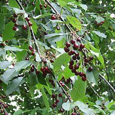 Prunus avium SWEET CHERRY❋15 SEEDS❋Sweet Fruits❋Ornamental Flowering Tree❋Pies
