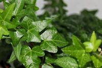 """4"""" POT English IVY! EASY TO GROW! Hardy evergreen! Glossy & gorgeous leaves!"""