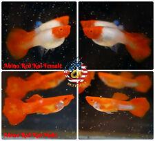 1 PAIR - Live Aquarium Guppy Fish High Quality - Albino Red Koi - USA Seller