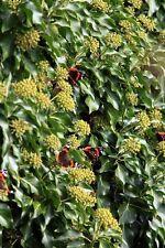 Efeu schmückt jeden Garten mit seinem grünen Blattwerk.