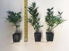 "3 Sarcococca ruscifolia, Very Fragrant Late Winter Flowers  - 8"" to 12"" Tall"