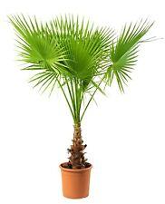Washingtonia robusta Palme Stammhöhe ca. 20 cm Gesamthöhe ca. 1,00 - 1,20 m