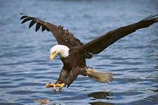 Bald Eagles Fishing 8x10 Wildlife James Jones Photography Print Picture