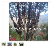 20 seeds delicious fruit plant plinia cauliflora bonsai tree family myrtaceae