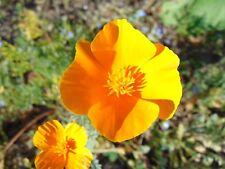 California Poppy   Eschscholzia californica   100 Seeds   (Free Shipping)