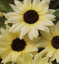 50 Vanilla Ice Sunflower Two Tone Light Yellow Helianthus Annuus Flower Seeds