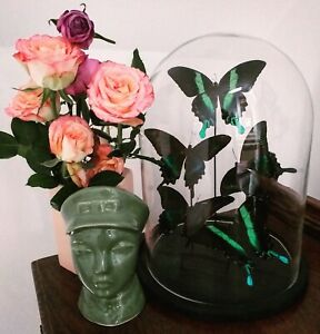 Butterflies in Glass Dome Taxidermy Bespoke Gifts Curiosities Butterfly