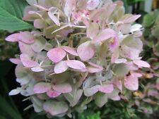 2 Fresh Cuttings  Endless Summer - Hydrangea Reblooming Blue, Purple Pink Green