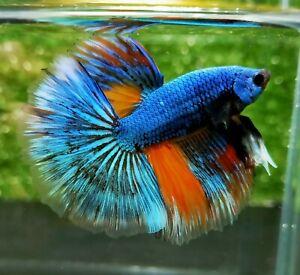 Live Betta Fish - Male Halfmoon - Blue Devil Avatar - Top grade - #bettafish 63
