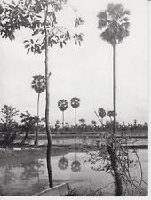 Albert ROBILLARD / PHOTO - CAMBODGE environs Pnam Penh, palmiers à sucre