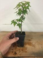 """Trident Maple, Acer buergerianum, Pre Bonsai Seedling Stock. 2 1/4"""" Potted"""