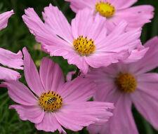 COSMOS PINKIE Cosmos Bipinnatus - 550 Bulk Seeds