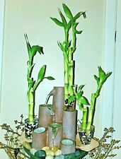 6 Lucky Bamboo Stalks for GIFT, Feng Shui, w/ FREE Plant Food, FREE Shipping