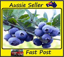 Purple Blueberry Seeds Potted Bonsai Tree Plant Vaccinium Seed ,200 Seed Lots