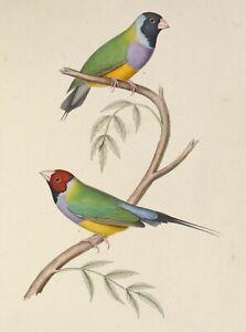 John Gould green birds Framed Print Canvas wall décor Vintage Art  Australia
